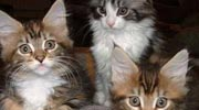 wiscassetmainecoons.co.uk Gallery Page